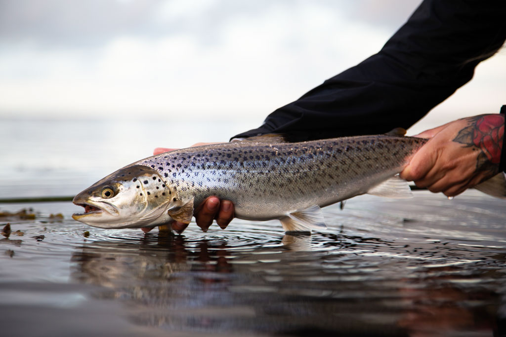 Baltic Sea Trout