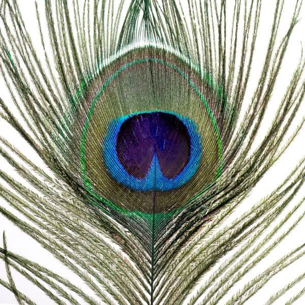 Veniard Pfauenaugenfedern Peacock Eye Tops